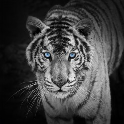 Stickers muraux déco : tigre blanc