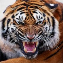 Sticker boites aux lettres déco tigre 30x30cm
