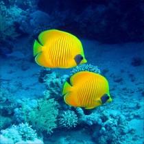 Sticker boites aux lettres déco poissons tropicaux jaune 30x30cm