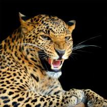 Sticker boites aux lettres déco jaguar 30x30cm
