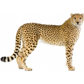 Sticker animal Guépard