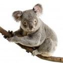 Sticker mural Koala