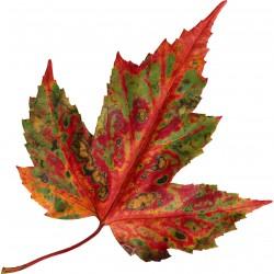 Sticker Feuille d'automne