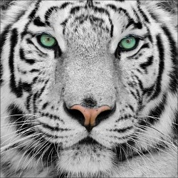 Stickers boites aux lettres déco Tigre 30x30cm