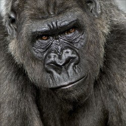 Stickers muraux déco : Gorille