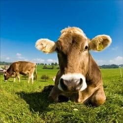 Stickers muraux déco : vache