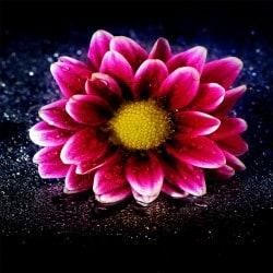 Stickers muraux déco : fleur rose