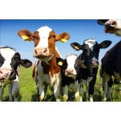 Stickers muraux déco : vaches