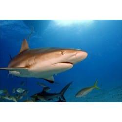 Stickers muraux déco : requin