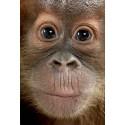 Stickers géant déco : orang outan