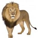 Sticker mural animal Lion