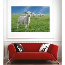 Affiche poster agneaux