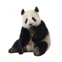 Affiche poster panda